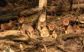 Picture look, light, branches, nature, wolf, puppies, wolves, kids, company, a lot, logs, cubs, coyote, faces, …