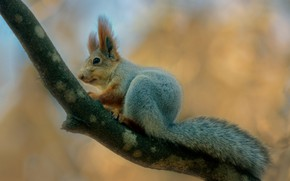 Picture nature, animal, branch, protein, animal, rodent, Alexander Plekhanov