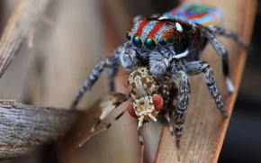 Picture macro, nature, fly, background, the victim, spiders, food, legs, spider, predator, hairy, insect, maniac, hunter, …