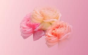 Picture rose, bouquet, petals, Bud
