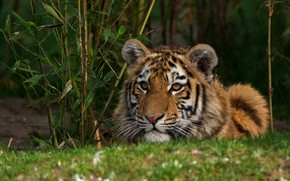 Picture cat, grass, look, face, leaves, nature, tiger, Bush, portrait, lies, tiger, wild, tiger, teen