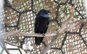 Picture look, bird, black, Raven, smart