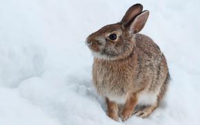 Picture winter, snow, hare, rabbit, Bunny, hare