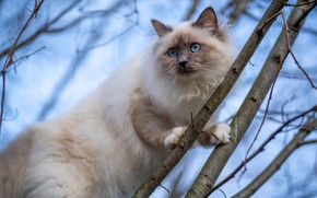 Picture cat, cat, look, branches, nature, pose, tree, blue eyes, bokeh, blue sky, marks, color-point, ragdoll, …