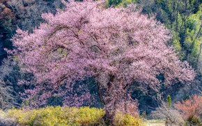 Picture forest, the sun, trees, spring, Sakura, flowering, the bushes