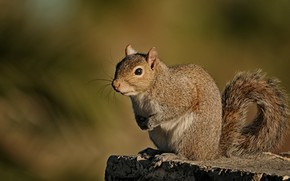 Picture background, stump, protein, tail, rodent