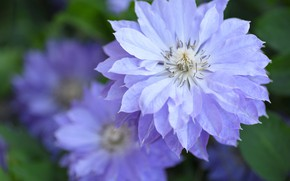 Picture macro, flowers, petals, lilac, clematis