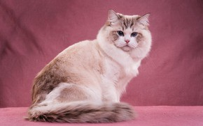 Picture cat, cat, look, face, pose, blue eyes, sitting, pink background, cutie, the expression, fluffy, light, …