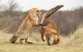 Picture pose, the game, two, Fox, pair, Fox, a couple, funny, two foxes