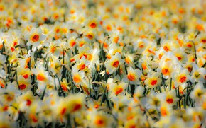 Picture nature, spring, daffodils