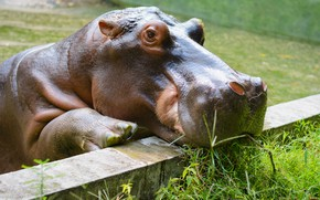 Picture look, face, portrait, the fence, Hippo, zoo