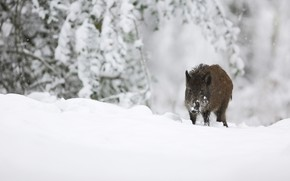 Picture winter, snow, branches, nature, the snow, walk, boar, wild, hog, boar