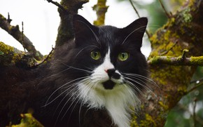 Picture cat, cat, mustache, look, face, branches, nature, background, tree, black and white, moss, portrait, fluffy, …