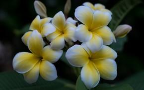 Picture white, tropics, plumeria