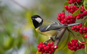 Picture autumn, branches, berries, background, bird, fruit, Rowan, bunches, bokeh, tit