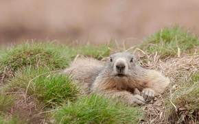 Picture France, rodent, Alpine marmot