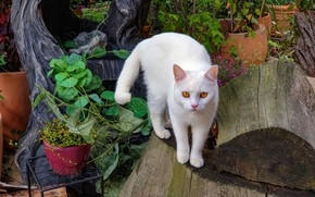 Picture cat, white, summer, cat, look, leaves, flowers, pose, plants, garden, log, pots, yellow eyes, vases