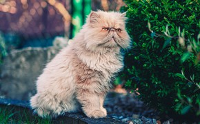 Picture greens, cat, summer, cat, look, face, leaves, pose, Bush, fluffy, garden, red, sitting, bokeh, peach, …
