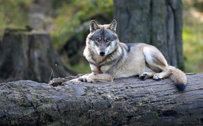 Picture look, face, grey, wolf, lies, log