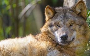 Picture look, face, wolf, portrait, lies, bokeh