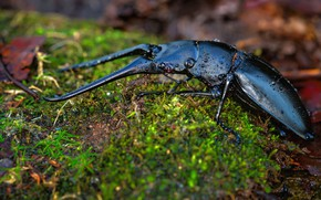 Picture drops, macro, nature, background, moss, beetle, horns, insect, brilliant, blue-black