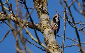 Picture tree, woodpecker, sitting, poplar