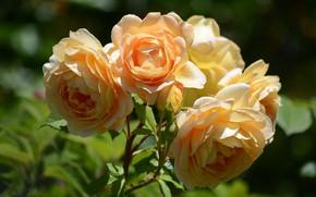 Picture macro, roses, petals, yellow roses