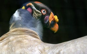 Picture background, bird, King Vulture