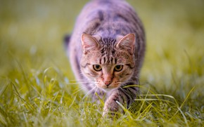 Picture cat, grass, look, muzzle, bokeh