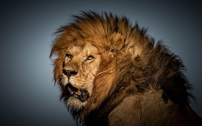Picture look, face, background, Leo, mane, the king of beasts, wild cat