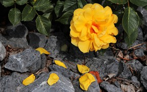 Picture flower, leaves, the dark background, stones, rose, petals, garden, yellow, falling