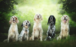 Picture dogs, summer, look, leaves, branches, nature, team, company, friends, a lot, green background, muzzle, sitting, ...