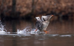 Picture water, squirt, pose, grey, bird, the rise, pond, goose, run, flap, ходьба по воде
