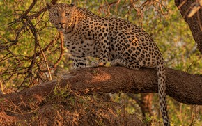 Picture leopard, look, on the tree, wild cat