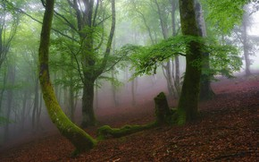 Picture forest, leaves, trees, branches, fog, foliage, moss, morning