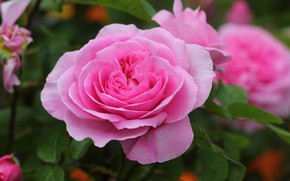 Picture macro, roses, pink