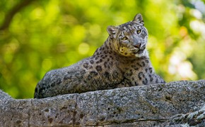 Picture summer, look, cats, pose, green, background, stone, lies, snow leopard, bars, wild cats, zoo, handsome, …