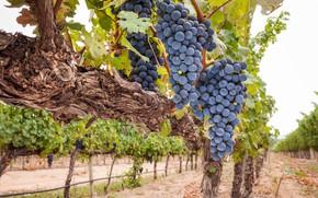 Picture grapes, bunches, vine