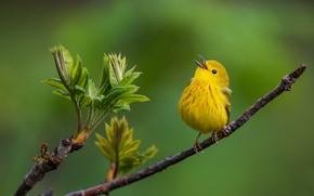 Picture background, bird, branch, bird, Yellow drevenica
