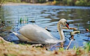 Picture white, water, light, pond, bird, shore, Swan, pond