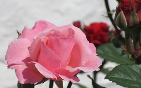 Picture Rose, Flower, Tenderness, Pink rose, Meduzanol ©