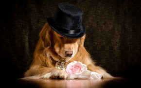 Picture flower, face, background, rose, hat, paws, tie, lies, decoration, Golden, on the floor, Retriever, brooch