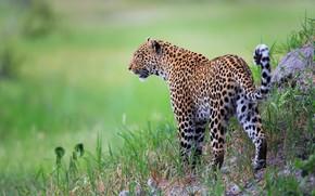 Wallpaper grass, leopard, wild cat, bokeh
