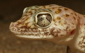 Picture eyes, look, face, close-up, background, portrait, lizard, Gecko, reptile