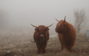 Picture fog, cows, highland