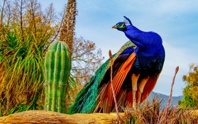 Picture bird, peacock, cacti