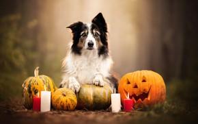 Picture dog, candles, pumpkin, Halloween