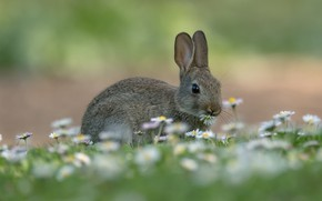 Picture flowers, glade, hare, rabbit, Bunny, rabbit, Daisy, hare