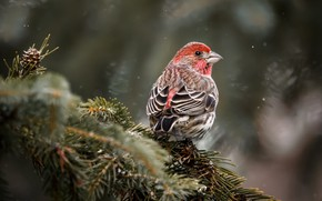 Picture branches, nature, background, bird, spruce, needles, Klest, Klest