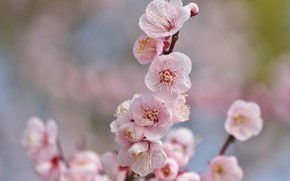Picture flowers, sprig, Sakura